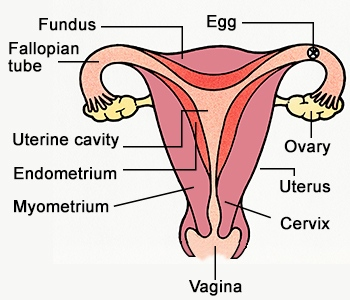forced sterilization is it a crime male genital system diagram to label
