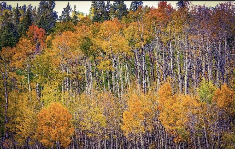 Colorado Aspens in all their glory...